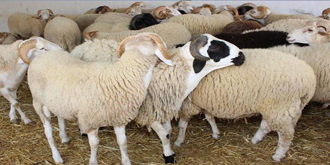 اضاحي العيد: منظمة الدفاع عن المستهلك تتوقع عزوف المواطن عن شرائها …